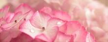美しいピンクの紫陽花、アジサイの花、クローズアップ