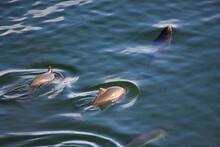 Dolphins In A Small Pod Swimming In Puget Sound Near Gig Harbor