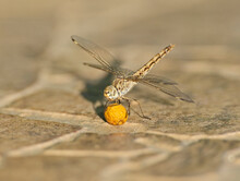 Closeup Detail Of Wandering Glider Dragonfly On Paved Path