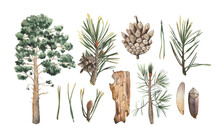 Watercolor Coniferous Set. Alpine Pine, Needles, A Ripe Pine Cone, A Piece Of Bark From A Fallen Tree, A Seed And A Segment Of A Cone. For Use In Illustrations With Conifer Elements