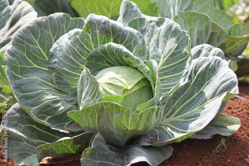 Papel de parede head of cabbage