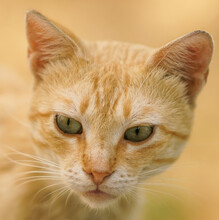 Close-up Portrait Of A Ginger Cat With Green Eyes