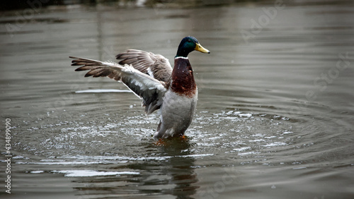 Canvas-taulu Male mallard bathing and preening on the river