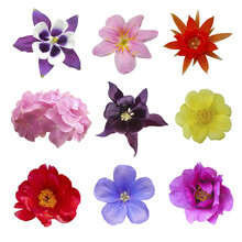Composition Of Flowers Violet Flower Of Aquilegia, Yellow Portulaca Oleraceae, Red Cactus Flower, White And Red Peony, Pink Hydrangea, Blue Hepatica Nobilis, Pink Lily On Isolated Background