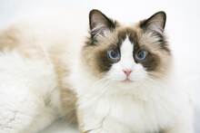 A Gentle And Lovely Ragdoll Cat