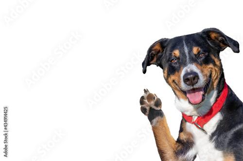 Obraz na plátně hello goodbye high five dog, Appenzeller Mountain Dog