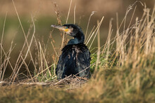 Cormorant On The Edge Of A Loch, Close Up In Scotland In Winter