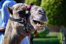 Camel Teeth, Camel Face,  Camel In Egypt