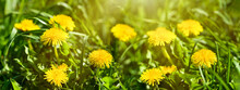 Green Field With Yellow Dandelions On A Sunny Day. Dandelion Meadow In The Garden