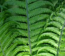 A Fern Is A Member Of A Group Of Vascular Plants That Reproduce Via Spores And Have Neither Seeds Nor Flowers.