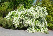 Koenigia Alpina (synonym Aconogonon Alpinum) Commonly Known As Alpine Knotweed Is Similar To Koenigia Alaskana, But Differs In Leaf Size And Achene Characteristics