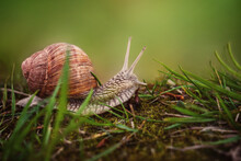 The Helix Pomatia Snail Crawls On The Ground With Green Grass.Blurred Natural Green Background With Space To Copy. Brown Snail Shell With Deep Notches. Detailed Texture On The Body Of The Snail. Fabul