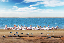 Great White Pelican Colony On The Coast Of Atlantic Ocean