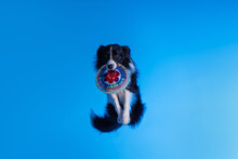Border Collie Jumping Dog Frisbee Disc Portrait