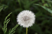Fluffy Dandelion In The Growing Forest