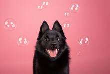 Schipperke Studio Portrait With Bubbles