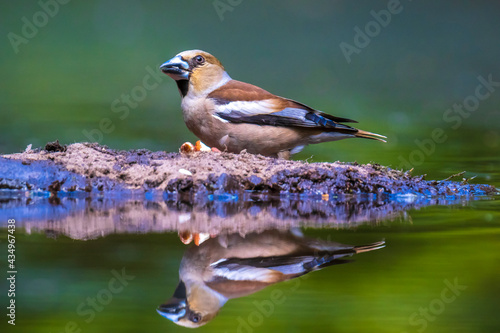 Closeup of a female hawfinch Coccothraustes coccothraustes songbird perched in a forest Fototapet
