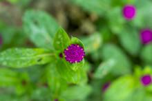 Common Globe Amaranth Pure And Dark Purple And Pink Flowers