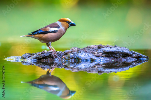 Fototapeta Closeup of a male hawfinch Coccothraustes coccothraustes songbird perched in a forest