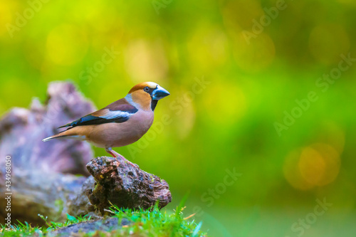 Fotografia, Obraz Closeup of a male hawfinch Coccothraustes coccothraustes songbird perched in a forest