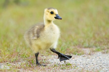 Cute Baby Goose Feeding In A Meadow. Canada Goose Gosling In Springtime. Great Meadows National Wildlife Refuge, Massachusetts