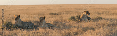 okondeka lion pride in savannah at sunset in etosha national parc