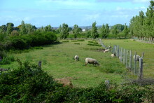 Some Sheeps In The West Of France, Spring Period, May 2021.