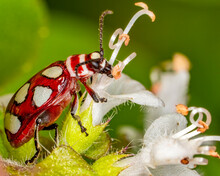 Red Coleoptera Beetle With White Spots. Macro Photograph Of A Red Coleoptera Beetle Eating Basil Flowers