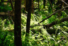 Sunlight Filtering Through The Tree In A Forest On Wild Ferns On A Barrier Island Off The South Carolina, USA Coast.