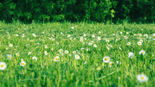 Green Meadow With Daisies And Cut Grass - Summer Field Flowers Against Trees Background