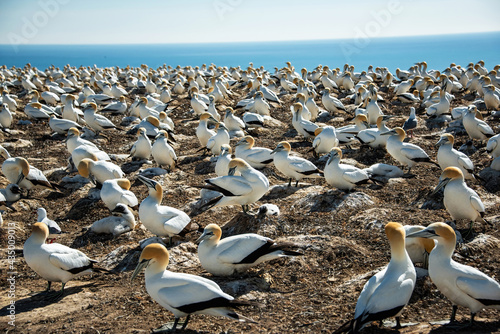 Gannet Colony at Cape Kidnappers, New Zealand Fotobehang