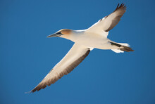 Gannet Flying At Cape Kidnappers, New Zealand