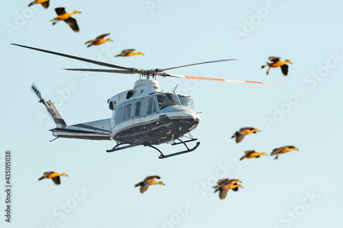 Fotografía Flying helicopter with a flock of flying ducks in foreground