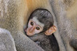 Leinwandbild Motiv Suckling baby vervet monkey (Cercopithecus aethiops), Kruger National Park, South Africa.