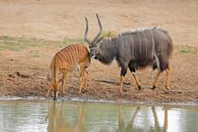 Male And Female Nyala Antelopes (Tragelaphus Angasii) At A Waterhole, Mkuze Game Reserve, South Africa.