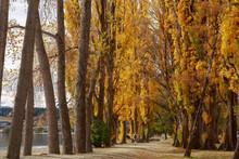 An Avenue Of Poplar Trees With Autumn Foliage In A Lakeside Park. Wanaka, New Zealand