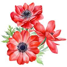 Bouquet Anemones Flowers. Botanical Watercolor Floral Illustration For Design. Red Flower