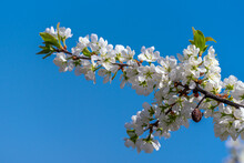 A Branch Of A Blooming Thorn Tree Illuminated By The Spring Sun Against The Blue Sky.