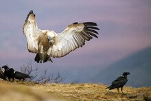 The Cape Griffon Or Cape Vulture (Gyps Coprotheres), Also Known As Kolbe's Vulture Landing On The Edge Of The Rock Among Other Scavengers.