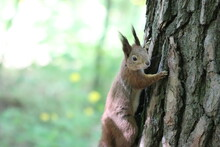 A Fluffy Beautiful Squirrel Lives In The Forest And Is Not Afraid Of People.