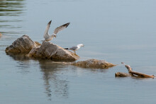 A Seagull With Its Wings Spread Upwards Yells At Another Seagull As Both Of Them Stand On A Large Rock In A Lake.
