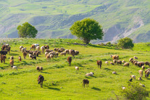 A Herd Of Cows And Sheep Grazes On A Green Meadow In The Mountains