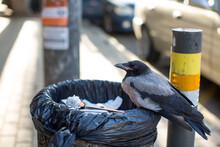 Urban Hooded Crow Sitting On A Trash Can