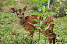 Baby Of Antelope In The Grass