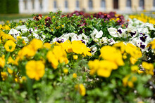 Close Up Of Pansies Planted In Colorful Variation In An Ornamental Flower Bed