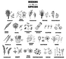 Herbs And Spices Hand Drawn Vector Illustration. Aromatic Plants. Hand Drawn Food Sketch. Vintage Illustration. Herbs And Spices Collection. Sketch Style Set.
