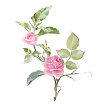 Pink Roses And Greens