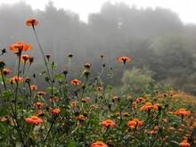 Orange Zinnias On A Farm On A Foggy Day