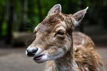 Eating Deer