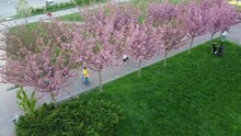 Aerial Drone View Of A Flying Over The Pink Flowers On The Trees Of Flowering Sakura. Cherry Blossom.